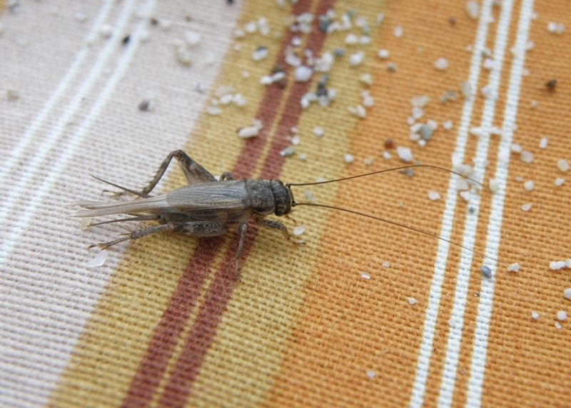 Cricket Facts and Keeping Crickets as Pets   The Old Farmer's Almanac