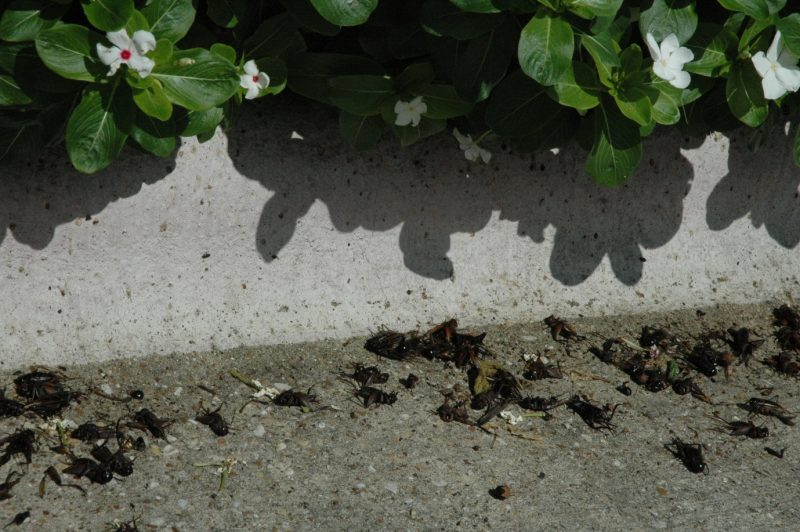 Cricket invasion hits parts of East and Central Texas   AgriLife Today