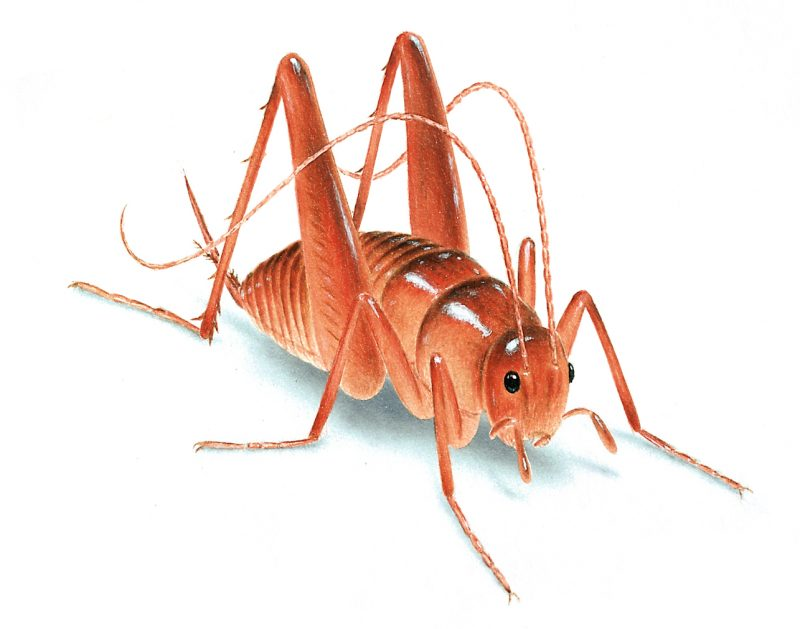 How to Get Rid of Camel Crickets (Cave or Spider Crickets)