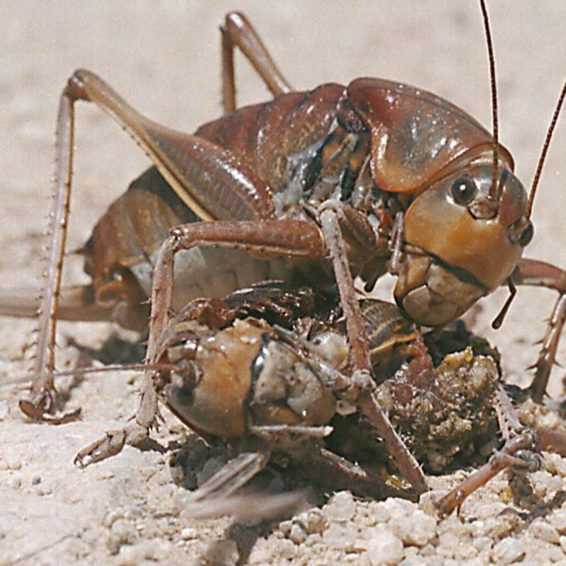 Mormon crickets are back — 3 inches long and wreaking havoc in Idaho    Southern Idaho Agriculture News   magicvalley.com