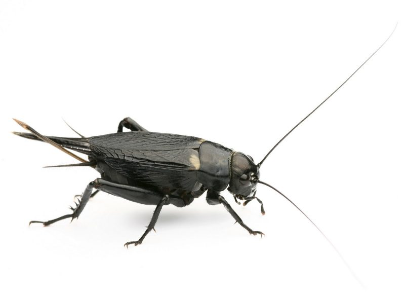The Pest Advice: How to Get Rid of Black Field Crickets
