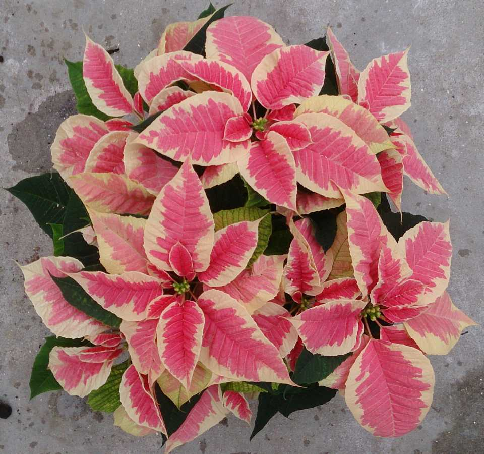 12 New Poinsettias For Holiday Growing - Greenhouse Grower