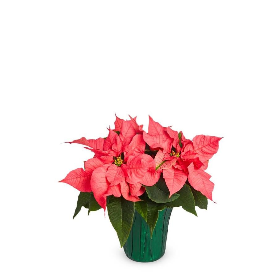 2-Quart Pink Poinsettia in Pot (L17756hp) in the Annuals department at  Lowes.com