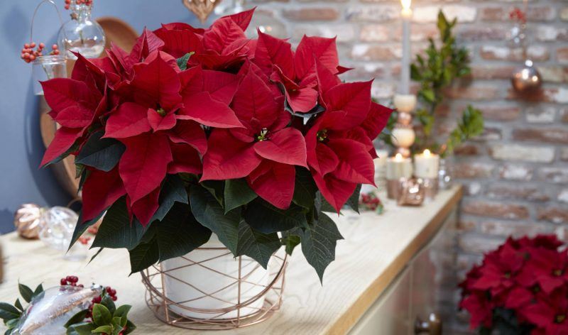 2020 Poinsettia Introductions - Greenhouse Product News