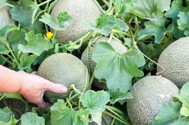 8 Tips for Growing The Sweetest Melons - Modern Farmer