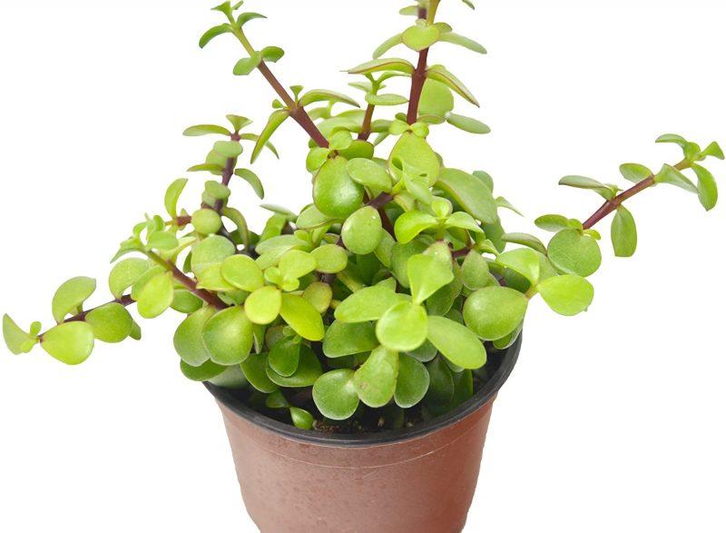 "Amazon.com : 'Elephant Bush' Succulent/4"" Pot/Live Home and Garden Plant/Free Care Guide : Garden & Outdoor"
