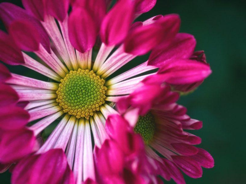 Blooms of the Spoon Mum Chrysanthemum Redwing - DLifeJourney