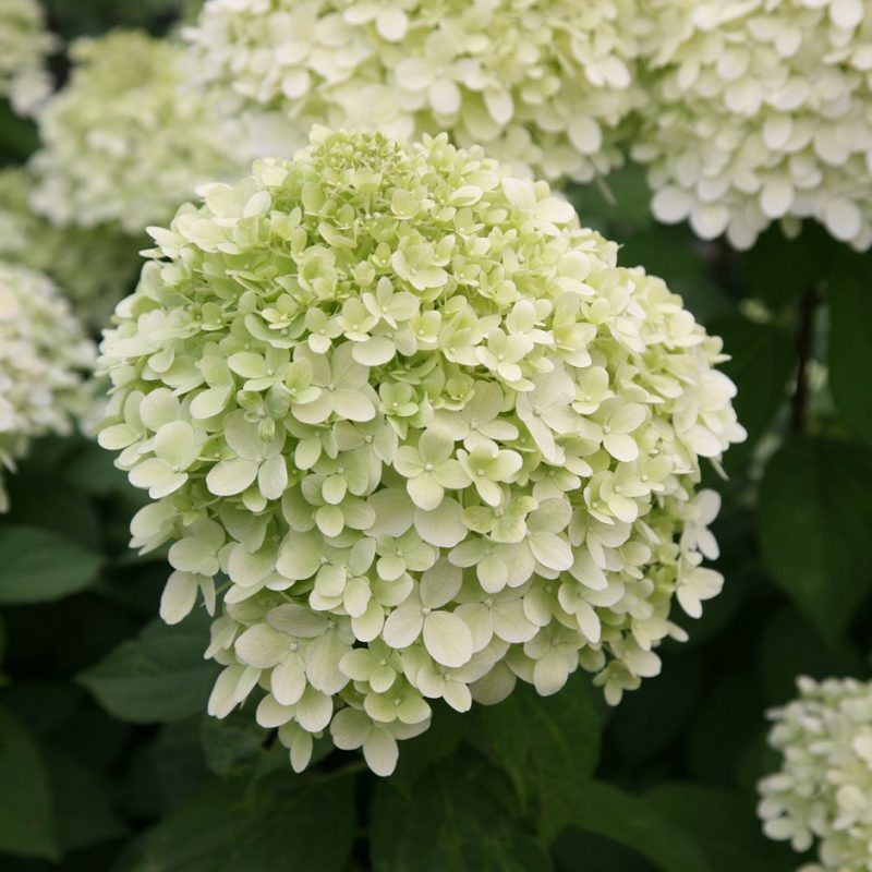 Buy hydrangea Hydrangea paniculata Limelight (PBR): £69.99 Delivery by  Crocus