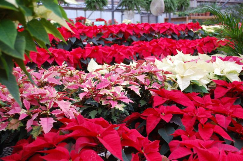 Care of Poinsettias and Christmas Evergreen Wreaths -