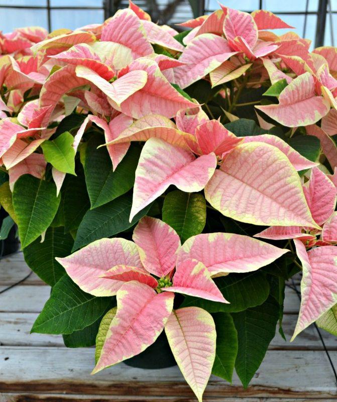 Christmas poinsettia - Shimmer Surprise   Poinsettia, Christmas poinsettia,  Outdoor holiday decor