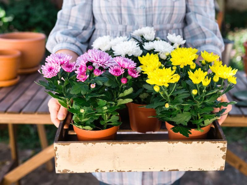 Chrysanthemum Growing Tips - How to Grow Mums   Apartment Therapy