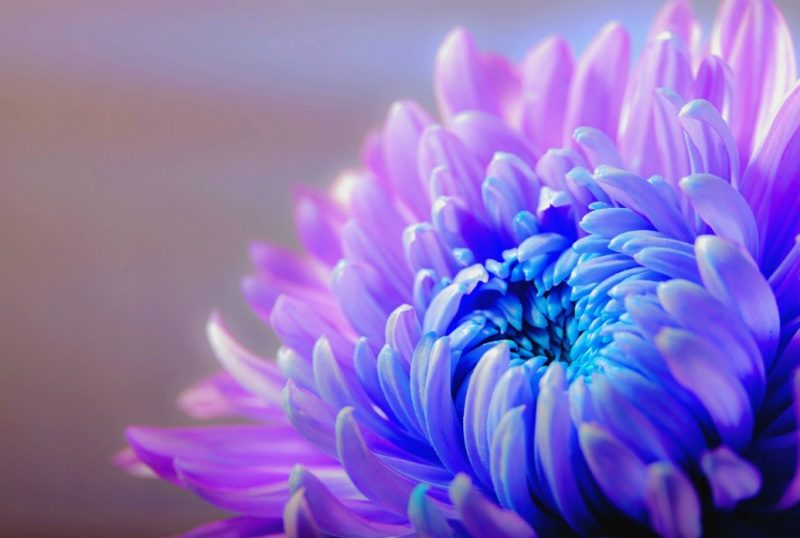 Chrysanthemum Tea Health Benefits and Recipes (SUPER HEALTHY)