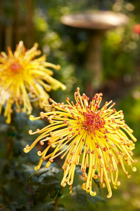 Chrysanthemums Facts To Get You In the Mood for Fall   Better Homes &  Gardens