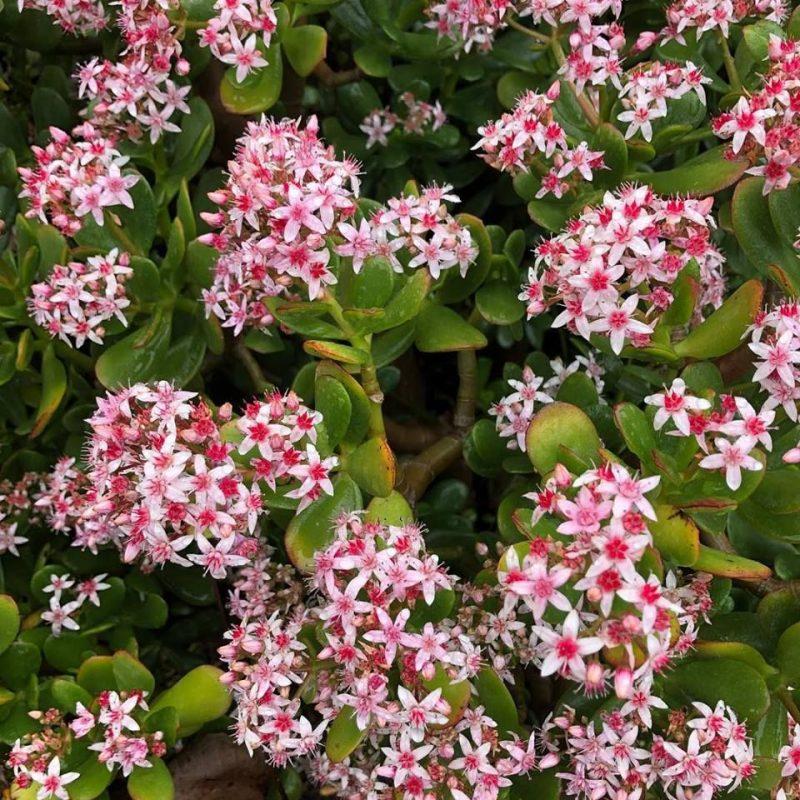 Crassula ovata - Cacti.com | Crassula ovata, Blooming succulents, Jade plants