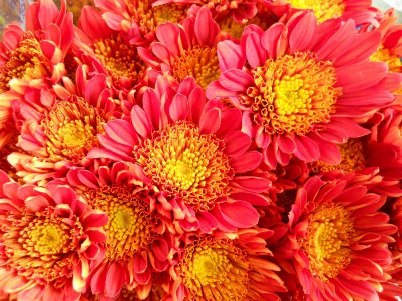 Cushion Mums   Chrysanthemum, Plants, Daisy