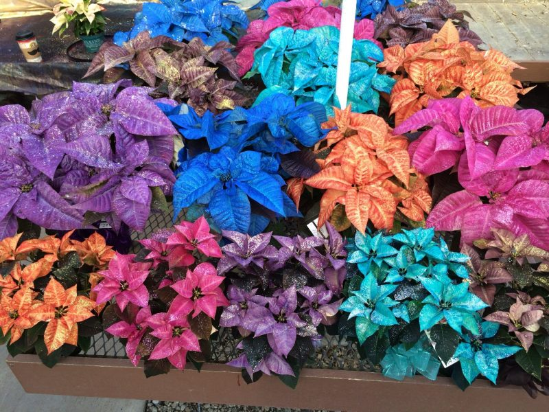 Fantasy colored poinsettias!   Poinsettia, Color, Drawings