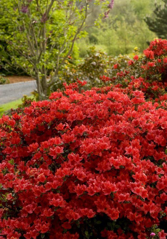 Girard's Hot Shot Azalea - Monrovia - Girard's Hot Shot Azalea | Azaleas landscaping, Azaleas care, Front yard landscaping