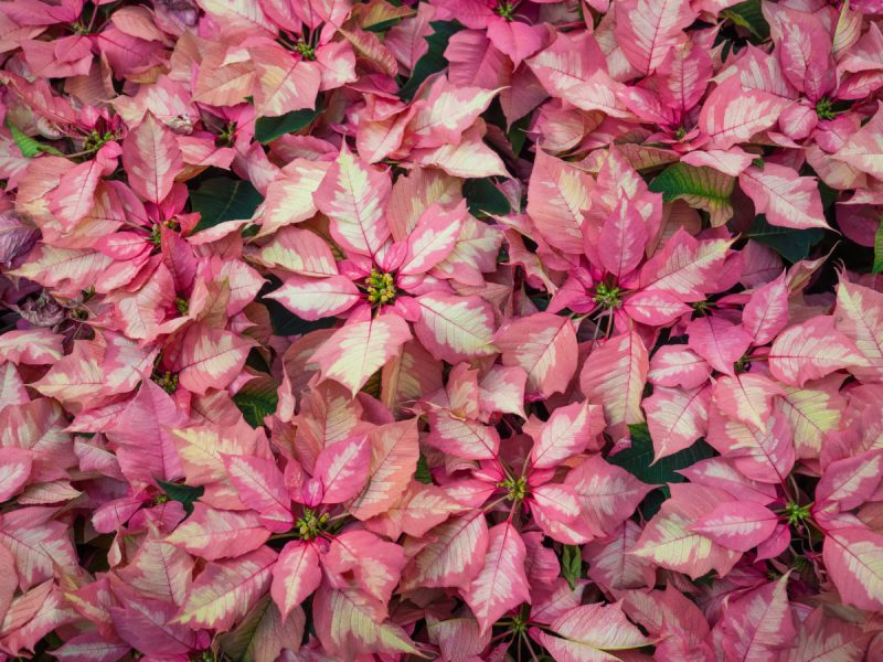 Gorgeous New Poinsettia Varieties to Keep Holiday Spirits Bright - Sunset -  Sunset Magazine