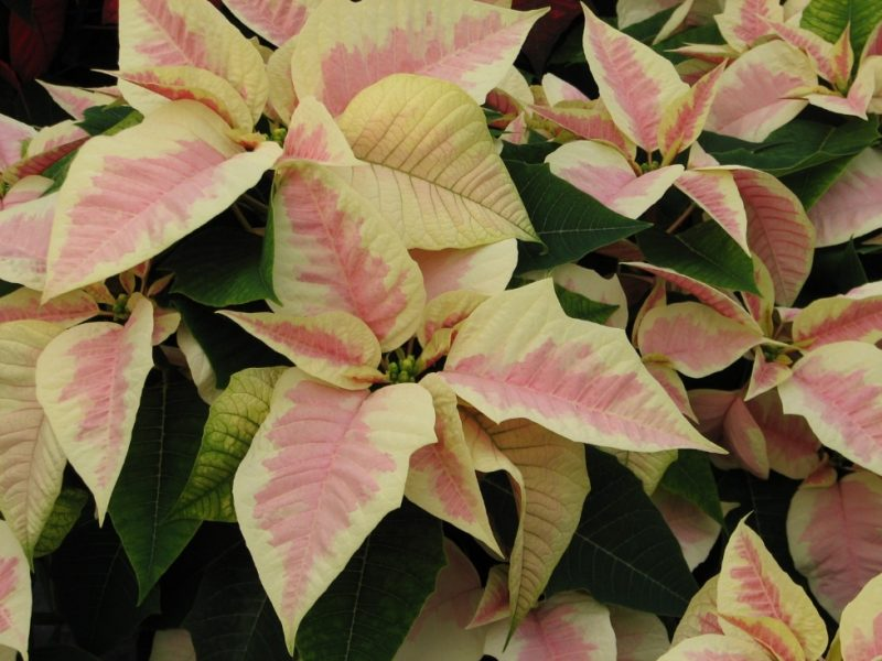 Holiday Poinsettia Care…..   Can You Dig It?