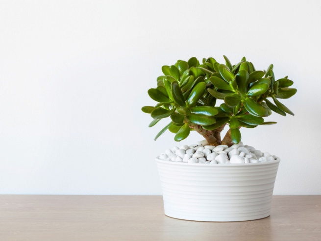 How to Care for (and Propagate) Your Jade Plant