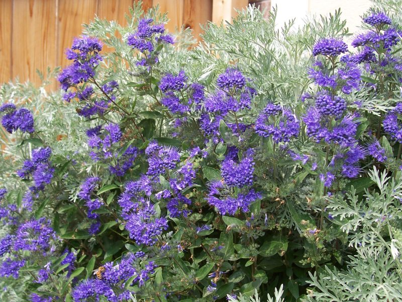 How to Grow and Care for Blue Beard (Blue Mist) Plants
