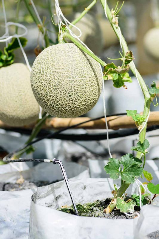 How to Grow Cantaloupe in Containers   Gardener's Path