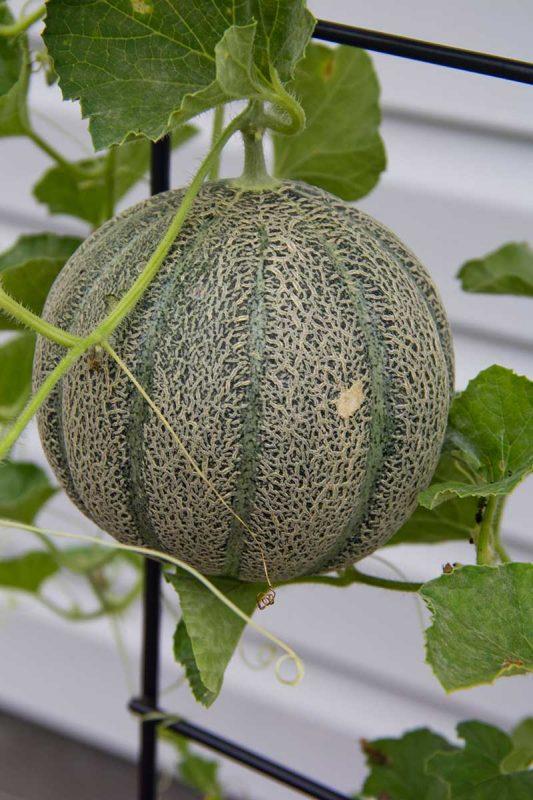 How to Grow Cantaloupe Vertically on a Trellis   Gardener's Path
