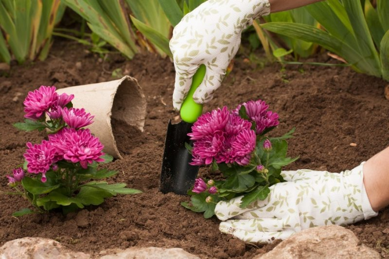How to Plant and Grow Chrysanthemums (Guide)   Install-It-Direct
