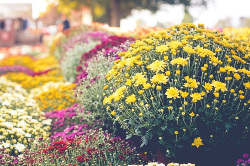 How to Plant Chrysanthemums - Best Time to Plant Mums