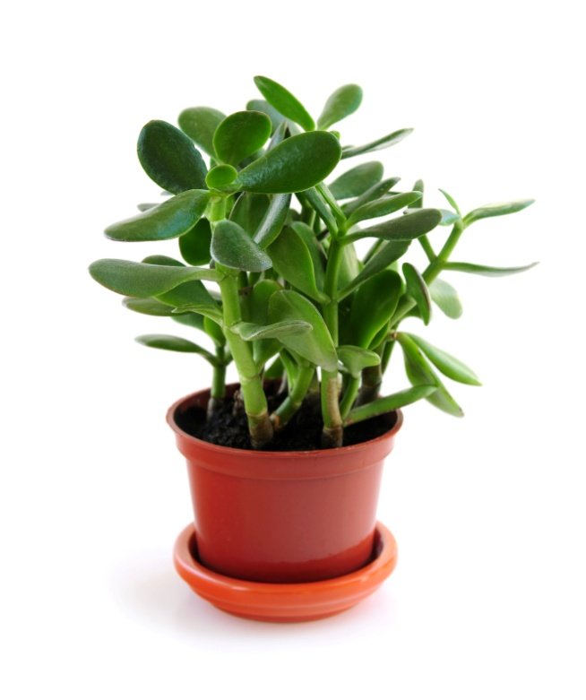 Jade Plants: How to Plant, Grow, and Care for Jade Plants | The Old Farmer's Almanac