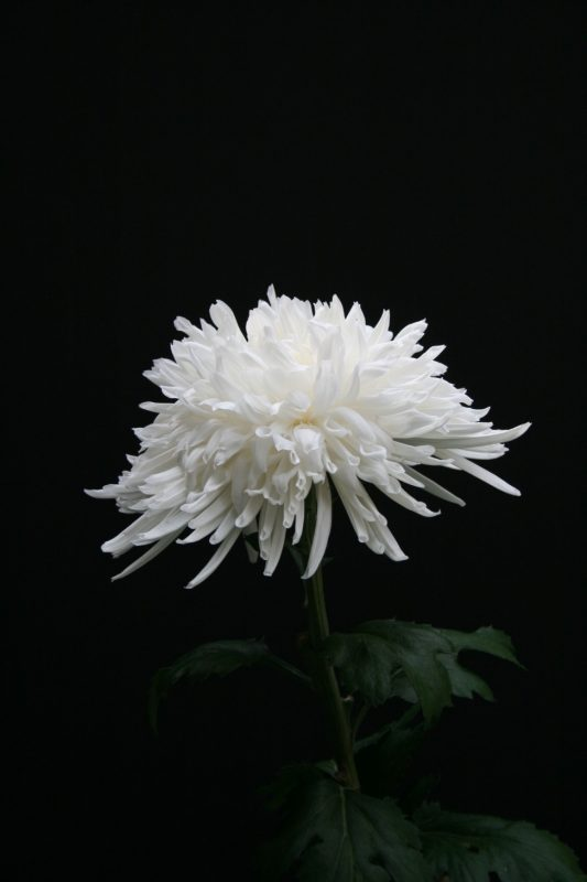 Lone Star   Small natural garden ideas, Lone star, Chrysanthemum