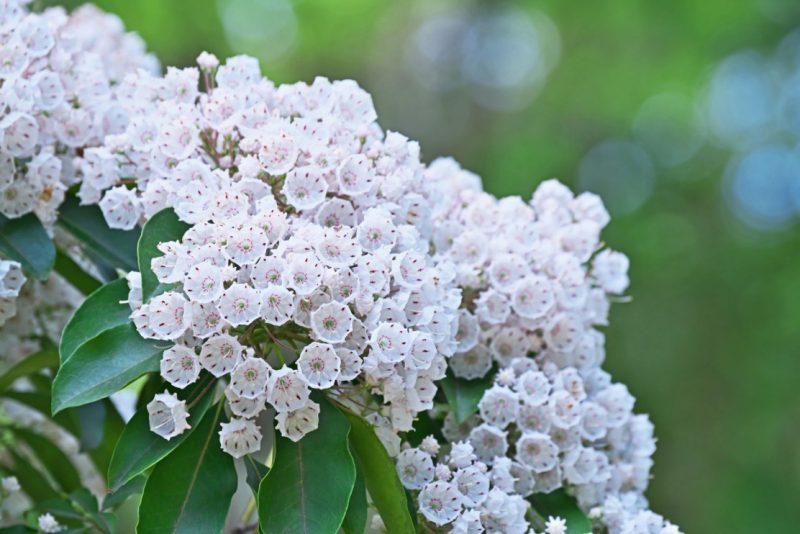 Mountain Laurel Information - How To Grow A Mountain Laurel Shrub