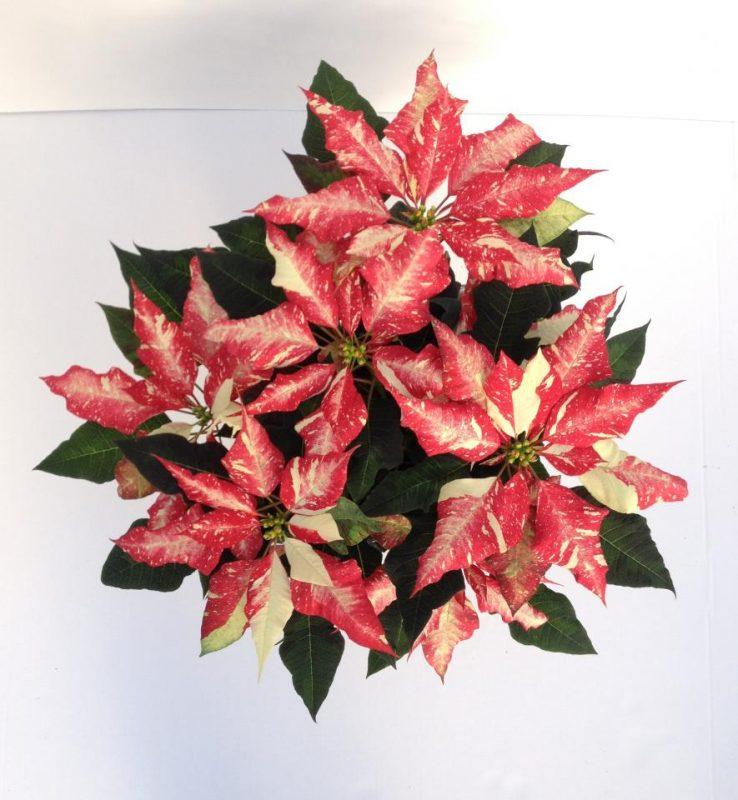 Poinsettia Red Glitter Jingle Bell Rock