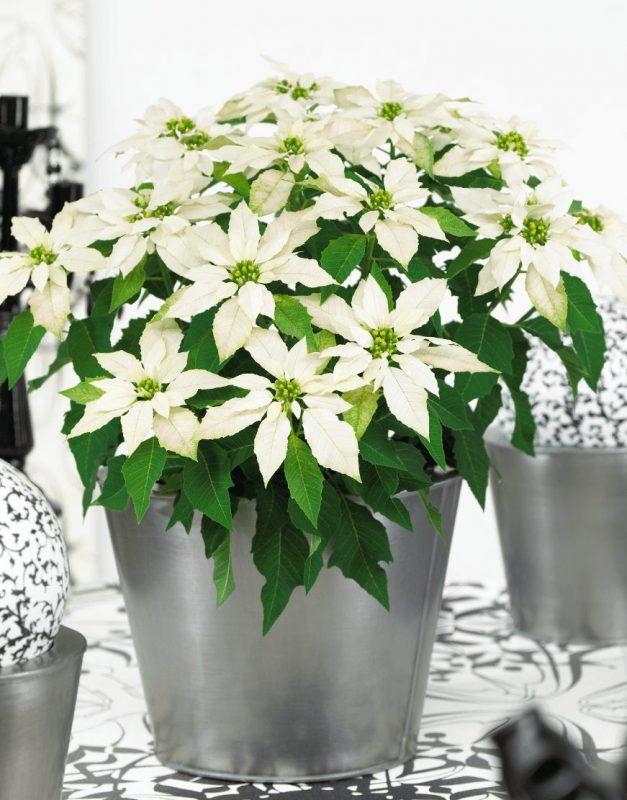 Princettia Max White   Compact, pink & white Euphorbia (Poinsettia) 2.0