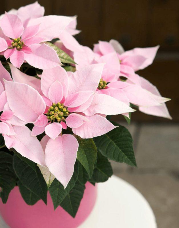 Princettia Pink   Compact, pink & white Euphorbia (Poinsettia) 2.0