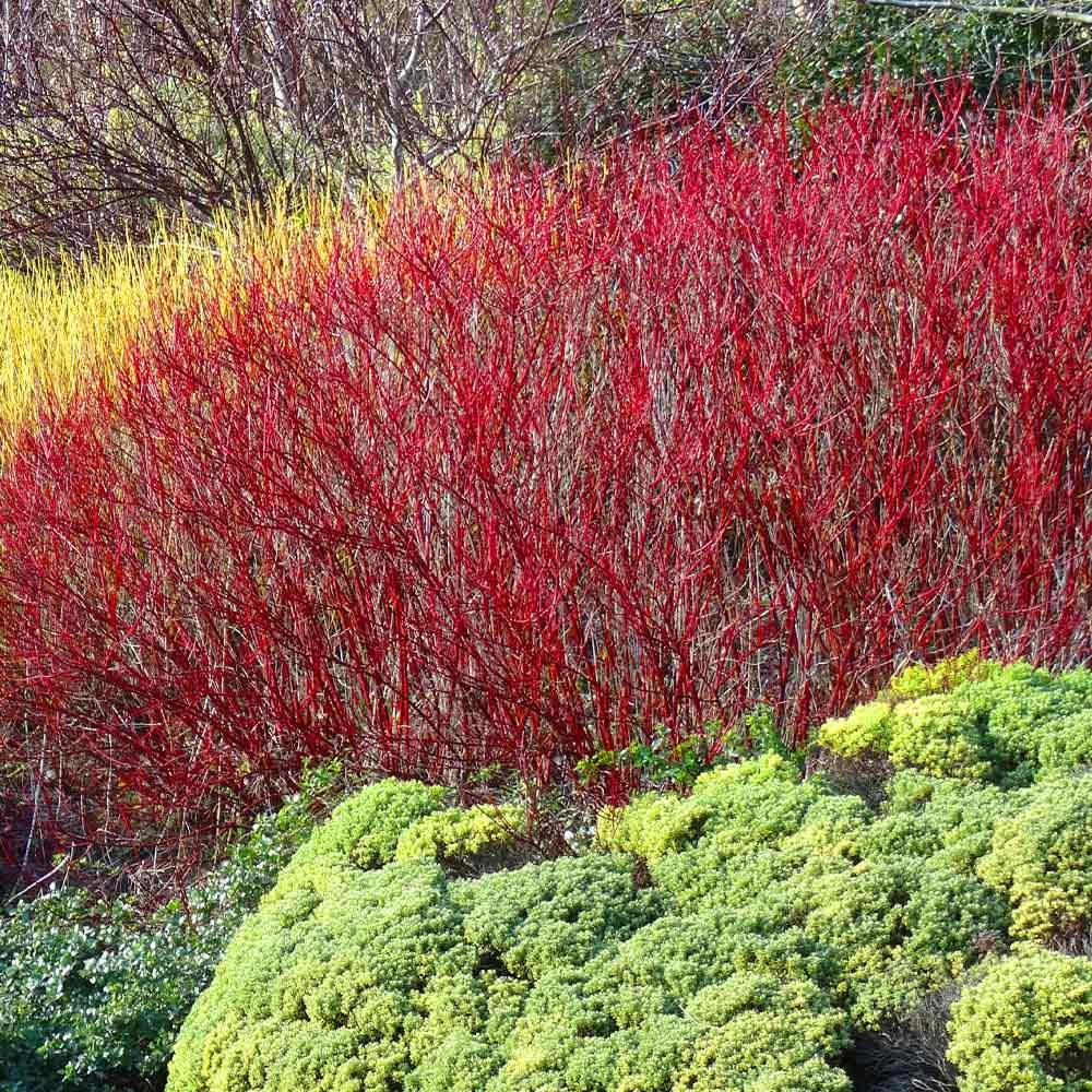 Red Twig Dogwood Shrubs for Sale– FastGrowingTrees.com