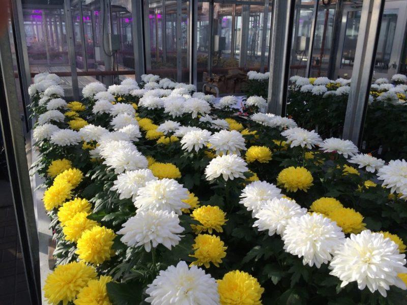 Reducing sulphur in greenhouse chrysanthemum - Greenhouse Canada