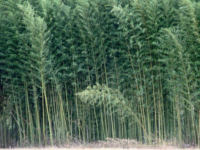River Cane Plant | Plants, Hummingbird plants, Bamboo plants