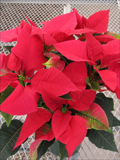 Solstice Red - 2011 Height Control - Poinsettia Cultivation - Commercial  Floriculture - Environmental Horticulture Department - UF/IFAS