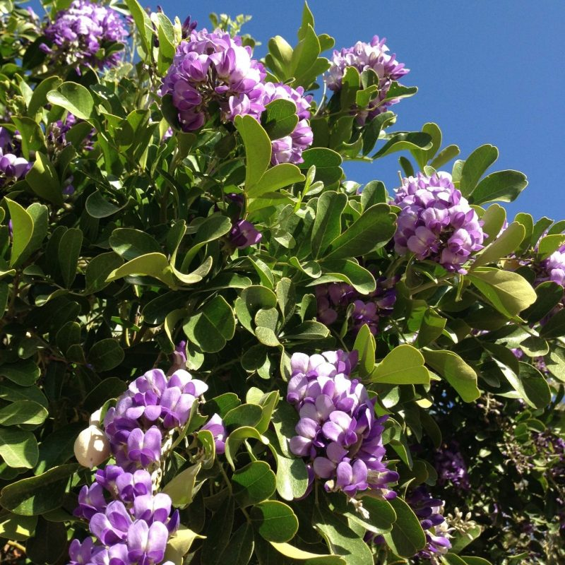 Texas Mountain Laurel | Tucson Clean and Beautiful, Inc.