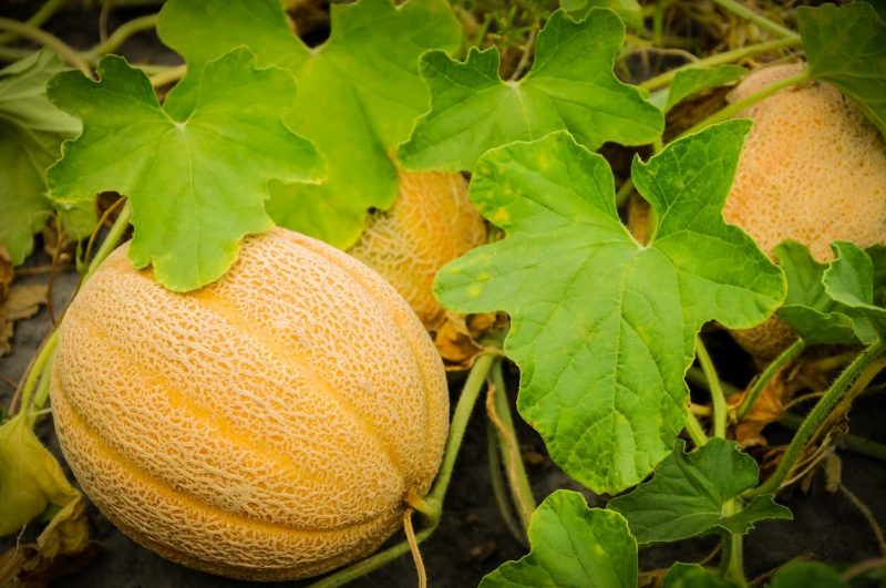 Tips for Growing Successful Melons   Growing cantaloupe, Cantaloupe and  melon, Honeydew melon