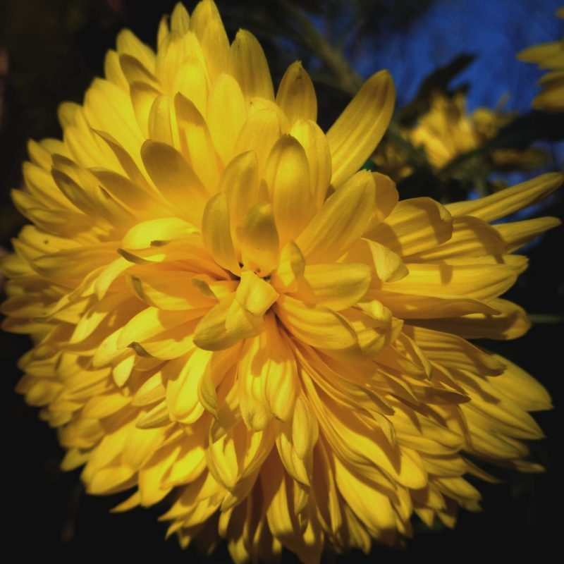 Yellow chrysanthemum   lat. Chrysanthemum morifolium   Elvis L.   Flickr