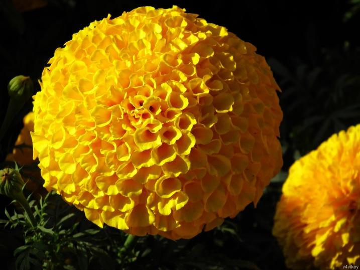 Yellow Pompon Chrysanthemum   Wallpaper Tadka