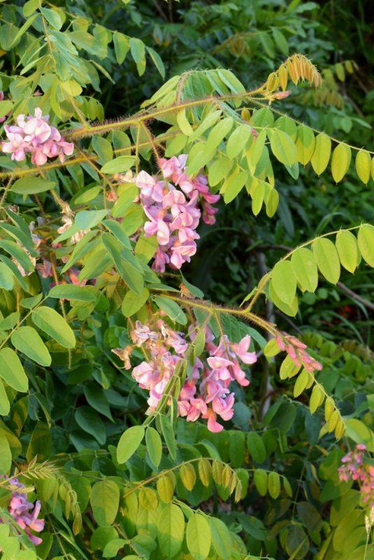 Plant A Day – Bristly Locust | Naturally Speaking